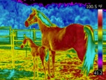 infrared thermal imaging of horses